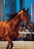 05 possono 2013: stallone arabo della baia di razza in exhi internazionale Fotografie Stock