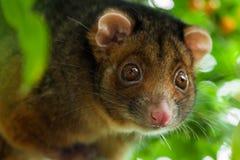 possum εστίασης ringtail ρηχό στοκ εικόνες