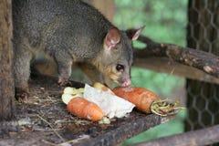 Possum σε ένα κλουβί στοκ φωτογραφία με δικαίωμα ελεύθερης χρήσης