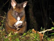 Possum τη νύχτα στη Νέα Ζηλανδία Στοκ Εικόνα