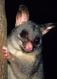 Possum. Common ringtail possum found at australia looking royalty free stock images