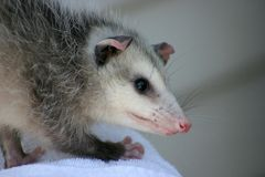 Possum. A Young Possum looks around its surroundings royalty free stock photos