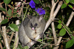 Possum Royalty Free Stock Photo