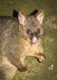 Possum obraz royalty free