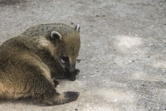 Possum basking in the sun at the zoo. Taigan park. Crimea Royalty Free Stock Photo