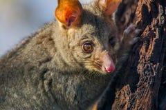 Possum Stock Image
