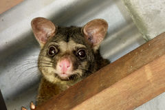 Possum in the ceiling. Brushtailed possum hiding in the rafters of the roof Stock Photo
