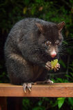 Possum Eating Royalty Free Stock Images