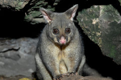 Possum in Mount Gambier Royalty Free Stock Image