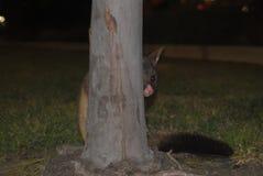 Possum Peekaboo στοκ φωτογραφία με δικαίωμα ελεύθερης χρήσης