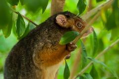 possum ringtail στοκ εικόνες με δικαίωμα ελεύθερης χρήσης