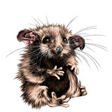 Possum sketch. A possum sits a little cute funny, sketch  graphics color picture Stock Photo