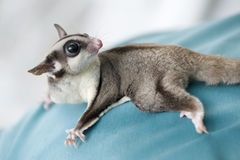 Possum or sugar glider Royalty Free Stock Photography