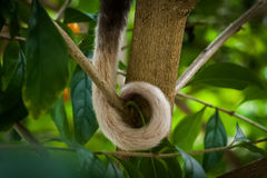 Possum tail Royalty Free Stock Images