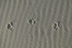 Possum Tracks In Light Sand Stock Photography