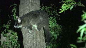 Possum in a tree in the night in Margaret River, Western Australia