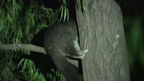 Possum in a tree in the night in Margaret River, Western Australia stock video footage