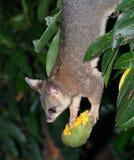 Possum upside-down. Holding bitten mango Royalty Free Stock Photography