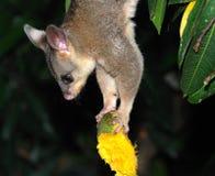 Possum upside-down. Holding bitten mango Royalty Free Stock Images