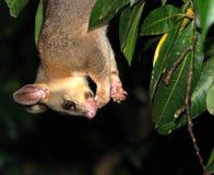 Possum upside-down. Licking its forepaw Royalty Free Stock Photos