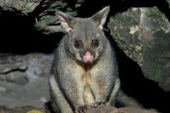 Possum w góra gambirze Obraz Royalty Free