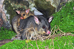 The Possums. The Possum Family at Night Royalty Free Stock Images