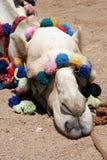 postój wielbłądzia głowa Zdjęcia Stock