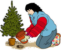 Post christmas. Woman digging up or planting fir tree around Christmas Royalty Free Stock Image