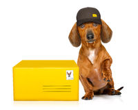 Post delivery dachshund sausage dog. Dachshund sausage dog delivering a big brown package as a postman with cap , isolated on white background stock photo
