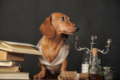 Post doctorate dachshund with books and candlesticks. Brown dachshund in a waistcoat with books and candlestick Royalty Free Stock Photos