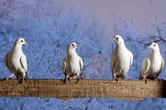 Post- duvor som sitter på staketet, övervintrar afton Arkivfoto