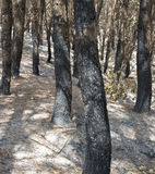 Post fire effect with burned Pines Stock Images