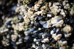 A post full of mussels revealed by the receding tide. Here are some mussels that was on a post that was only revealed one the tide went out Royalty Free Stock Photos