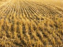 Post-harvest droge padievelden stock fotografie