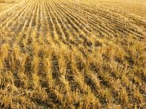 Post-harvest dry rice paddies Stock Photography