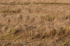 Post harvest dry rice paddies field Royalty Free Stock Photo