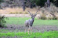 Post Kudu Stock Afbeeldingen
