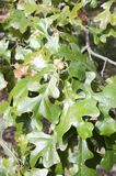 Post Oak. Also called iron oak, Quercus stallata, with leaves with lobes that form a rounded cross in the New Jersey pine barrens. The tree grows in poor soils stock photos