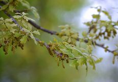 Free Post Oak Tree Branch With New Leaves And Catkins Stock Photo - 113531670