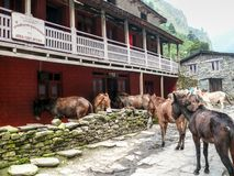 Post office and mules in Dharapani, Nepal Royalty Free Stock Images