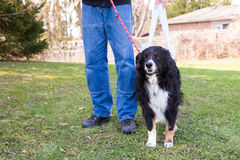 Post surgery dog goes for walk Stock Photography
