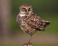 postad owl Arkivfoto