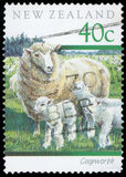 Postage stamp. New Zealand Coopworth Stock Photography