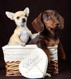 Postal de la Feliz Año Nuevo del retrato del perrito del perro basset Foto de archivo libre de regalías
