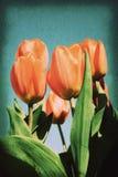 Postal en vieja imagen de papel del estilo de la textura, flor rojo del vintage del tulipán en jardín Foto de archivo libre de regalías