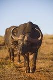 postawa bizon obrazy stock