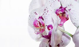 Postcard with beautiful orchids for the holiday. White orchids on a white background stock photo