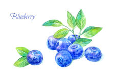 Postcard of a blueberry. Forest berry.Watercolor hand drawn illustration.White background Stock Images
