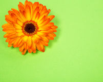Postcard from a bright orange gerbera flower. On light green paper background Stock Image