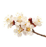 Flowering branch of sweet cherry Royalty Free Stock Photo